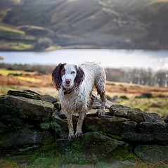 Rups (Missy Jussy) Tags: rupert rupertbear englishspringer springerspaniel spaniel dog dogwalk pet animal outdoor outside countryside piethornevalley reservoir rochdale hills drystonewalls trees grass canon ef70200mmf4lusm ef70200mm canon70200mm canon5dmarkll canon5d canoneos5dmarkii