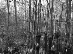 Cypress swamp (davekrovetz) Tags: reflections hiking monochrome nature virginiabeach virginia cypress swamp