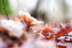 champignon surgelé (Paul LECHAT) Tags: champignon gelé glace belgique namur hainaut bois eos80d 80d canon 50mm