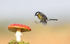 Great Tit landing on toadstool (spennells pensioner) Tags: flyagaric greattit nature sunny bird birdinflight kidderminster spennells naturalhistory toadstool england uk hovering