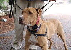 Boris (Webfoot5) Tags: dog dogs dogsonwalks dogzonwalkz vizsla