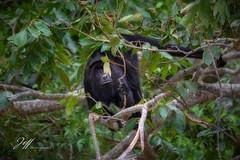 Singe hurleur (Jeff-Photo) Tags: 7d faune pleinair animal canon landscape mexique monkey nature paysage singe singehurleur voyage