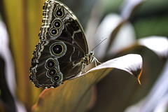 Butterfly IV (Joe Josephs: 3,166,284 views - thank you) Tags: butterflies insects science animals nature naturephotography americanmuseumofnaturalhistory nyc newyorkcity sciencemuseum travel travelphotography