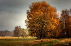 Pietzmoor - Herbstfarben (Pana53) Tags: photographedbypana53 pana53 naturfoto naturundlandschaftsfotografie herbstfärbung jahreszeit autumn herbstfarben naturfotografie birken landschaft wiesen bäume trees wege pietzmoor schneverdingen hebererstrase lichteinfall sonne himmel sky nikon nikond500