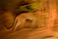 Safari de nuit, bas Zambèze, Zambie