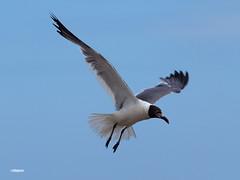 180822_40_ACAS_DirtyBird (AgentADQ) Tags: atlantic city air show new jersey seagull gull bird