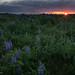 Promises (rishaisomphotography) Tags: lupine fields sunrise landscape kodiak kodiakalaska nature naturephotographer rishaisomphotography alaska clouds flowers