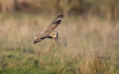 Short-eared owl (Steve Balcombe) Tags: bird shorteared owl asio flammeus inflight steart marshes somerset uk