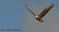 Just passing by. (kconnelly03) Tags: maryland flight susquehnnariver baldeagle
