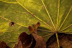 Still Green... (Wes Iversen) Tags: burton formarnaturecenter formarnaturepreservearboretum hmm macromondays michigan nikkor18300mm autumn green leaf leaves lines nature