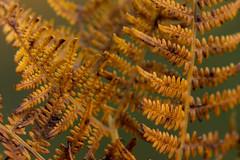 Fougère (Meculda) Tags: nature macro france nikon sigma 105mm détails fougère plante feuille couleur automne autumn bokeh