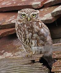 Little Owl (Gary Chalker, Thanks for over 3,000,000. views) Tags: owl littleowl birdofprey bird pentax pentaxk3ii pentaxfa600mmf4edif k3ii fa600mmf4edif fa600mm 600mm