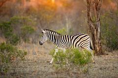 Sundown Stripes... (DTT67) Tags: zebra safari africansafari africa 100400mm 5dmkiv canon5dmkiv canon sunset sundown stripes mammal animal nature wildlife
