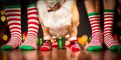 Festive Feet 347/365 (stevemolder) Tags: corgi feet socks stockings christmas strobist speedlite 365 december dog foot lights