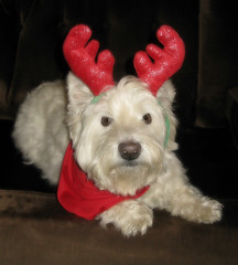 "12/12A~ ""Riley wants to paws and wish everyone a very Merry Christmas!"" (ellenc995) Tags: riley westie westhighlandwhiteterrier christmas merrychristmas 12monthsfordogs18 challengeclub thesunshinegroup coth alittlebeauty fantasticnature coth5 thegalaxy 100commentgroup sunrays5"