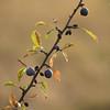 Après un été bien sec (Titole) Tags: prunus branch fruit wild leaves dry titole nicolefaton squareformat
