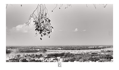 Hanging (krishartsphotography) Tags: krishnansrinivasan krishnan srinvasan krish arts photography monochrome fineart fine art tree branch cityscape bridge leaf leafs clouds sky horizon malaikottai ucchi pillaiyar temple trichy tamilnadu india