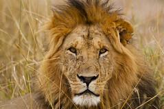 The gaze of the King (paolo_barbarini) Tags: lion king gaze eyes feline animals mammals wildlife cats nature leone natura savana kenya masai mara sguardo occhi criniera africa