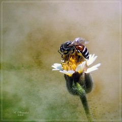 Pollinator on Tridax procumbens (ulli_p) Tags: asia art artofimages aworkofart bee blossoms canoneoskissx5 flickraward flowers macro nature southeastasia thailand texture textured texturedphoto