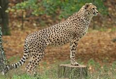 cheetah Burgerszoo 094A1566 (j.a.kok) Tags: animal africa afrika mammal cheetah jachtluipaard acinonyxjubatus acinonyxjubates predator zoogdier dier burgerszoo burgerzoo