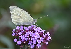 Small White (Eleanor (No multiple invites please)) Tags: coth butterfly smallwhitebutterfly flower verbena purpleflower garden stanmore uk nikond7200 september2018 coth5