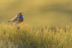 PECHIAZUL (Carlos Cifuentes) Tags: ruiseñorpechiazul pechiazul papoazulcomún lusciniasvecica bluethroat wildlife nature natural wildlifenature carloscifuentes bird birds