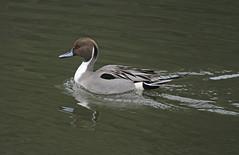 Northern Pintail (timz501) Tags: anasacuta northernpintail duck bird jersey