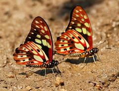 Green Lady Butterflies (Wild Chroma) Tags: graphium cyrnus graphiumcyrnus butterfly insects madagascar andasibe