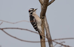 7K8A6963 (rpealit) Tags: scenery wildlife nature wallkill river national refuge downy woodpecker bird