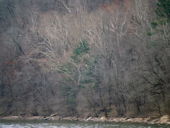 Ten eagles (foxtail_1) Tags: haliaeetusleucocephalus eagle eagles baldeagle panasonicg9 lumixg9 g9 bluestonelake eaglecount