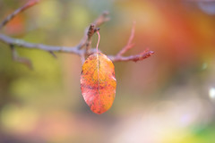 Hanging On... (KissThePixel) Tags: leaf leaves redleaf redleaves branch tree garden bokeh macro bokehlicious dof depthoffield dofalicious dreamy pastel focus nikon nikond750 november 50mm 14 f14 sigmaart sigmaf14 nature autumn autumncolours autumnlight