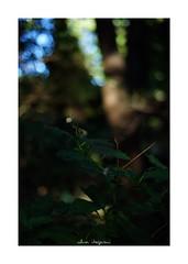 2018/10/7 - 7/18 photo by shin ikegami. - SONY ILCE‑7M2 / Carl Zeiss C Sonnar T* 1.5/50 ZM (shin ikegami) Tags: sky 空 紫陽花 flower 花 井の頭公園 吉祥寺 autumn 秋 sony ilce7m2 sonyilce7m2 a7ii 50mm carlzeiss sonnar csonnar50mmf15 tokyo sonycamera photo photographer 単焦点 iso800 ndfilter light shadow 自然 nature 玉ボケ bokeh depthoffield naturephotography art photography japan earth asia