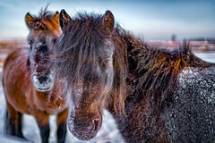 The Most Stronger Horses (tehhanlin) Tags: horses horse oymyakon travel places ngc russia siberia yakutsk yakut sony winter