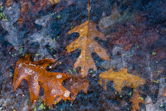 Lapham Delafield Segments Ice Age Trail-26.jpg (NetAgra) Tags: kettlepond waukeshacounty frosty orange color autumn frozen iceagetrail wisconsin leaves cold novermber brown fall oak red