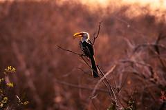 Twilight Hornbill (thisbrokenwheel) Tags: avian hornbill southafrica flight travel nature bird southernyellowbilledhornbill wildlife twilight nationalpark conservation krugernationalpark dusk