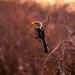 Twilight Hornbill