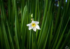 Solitaria flor en Enero... (Leo ☮) Tags: flor naturaleza flower nature garden jardín enero january invierno winter color green verde luz light galicia lone solitaria loneliness soledad