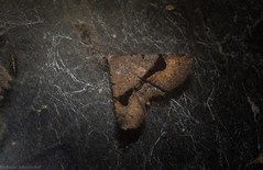 Rhesalides curvata (dustaway) Tags: arthropoda australianwildlife australia insecta lepidoptera tamborinemountain mounttamborine sequeensland queensland australianmoths australianinsects rhesalidescurvata erebidae