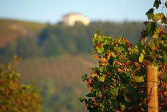 Filari 4 Langhe 18 (zanf89) Tags: neive alba langhe piemonte colline vino barolo nocciole