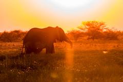 DSC00357 (philliphalper) Tags: namutoni etosha namibia elephant sunset