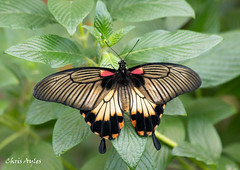 Female Great Mormon in the Butterfly House (chrisayles78) Tags: greatmormon butterfly butterflies butterflyhouse tropical insect insectonplant insectphotography canon canon77d beautiful nature
