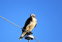 Buteo Under a Sky of Blue (Patricia Henschen) Tags: juvenile juvie young hawk swainsons swainsonshawk buteo swainsoni roadside backroad backroads rural countryside sanluisvalley alamosa colorado alamosanationalwildliferefuge nationalwildliferefuge