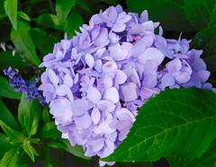 color splash in winter's midst (bidutashjian) Tags: flower purple coior hydrangea plant beautiful green nature bright