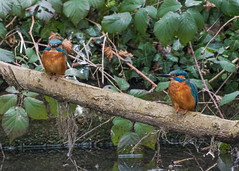 Kingfishers ( Alcedo atthis ) (Dale Ayres) Tags: kingfishers alcedo atthis pair bird nature wildlife water wood