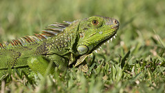 Green Iguana (Hamilton Images) Tags: greeniguana iguana reptile lizard scales grass green sanjose costarica canon 5dmarkiv 100400mmisii january 2019 juancarlosvindasphototours neotropicphototour imgdl7a0012