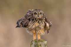 Short Eared Owl (Simon Stobart) Tags: short eared owl asio flammeus post fluffy north east england uk naturethroughthelens
