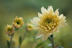 chrysanthemum 4215 (junjiaoyama) Tags: japan flower plant chrysanthemum mum yellow autumn fall macro bokeh