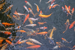 Koi fish on the pond (phuong.sg@gmail.com) Tags: themes abundance angle animals aquatic asia asian backgrounds blue carp color colored day fish frame full good gray group high horizontal idyllic japan koi lake large luck multi nippon outdoors pets photography pond red scene sunlight swim swimming tranquil travel underwater view water white wildlife yellow zen