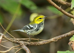 Black-throated Green Warbler Setophaga virens (Iain Leach) Tags: birdphotography wildlifephotography photograph image wildlife nature iainhleach wwwiainleachphotographycom canon canoncameras photography canon1dxmk2 canon5dmk4 beauty beautiful beautyinnature macro macrophotography closeup blackthroatedgreenwarbler setophagavirens ontario canada