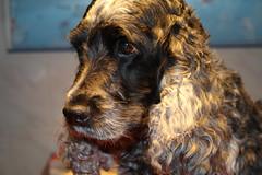 8  Today Happy  Birthday    Little Confidential (excellentzebu1050) Tags: dog doggy closeup cockerspaniel spaniel cocker animal farmdog pet indoors coth5 sunrays5